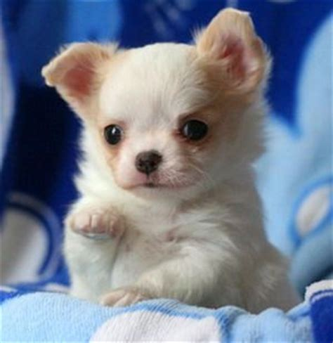 baby chihuahua puppies 25 best ideas about baby chihuahua on teacup chihuahua chihuahua puppies