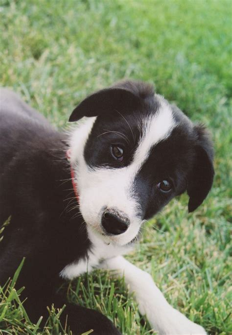 haired border collie puppies smooth haired border collie puppies oasis fashion