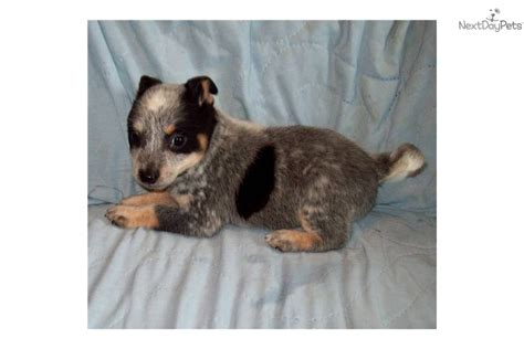 mini australian cattle puppies for sale australian cattle blue heeler puppy for sale near bend oregon 4d85d1c5 f771