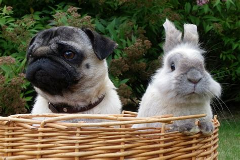 pug bunny pug puppy bunny wallpaper screensaver background pug wallpaper screensaver