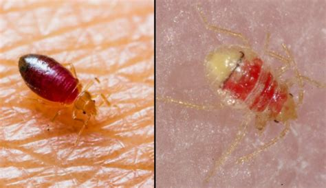 where did bed bugs originate do bed bugs come out in light 28 images where do you