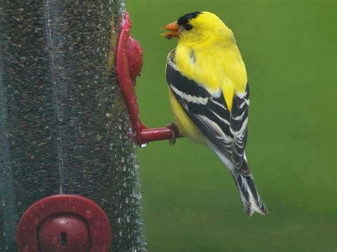 backyard birds utah american goldfinch