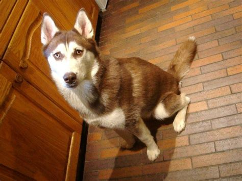 brown and white husky puppy beautiful brown and white siberian husky southton hshire pets4homes