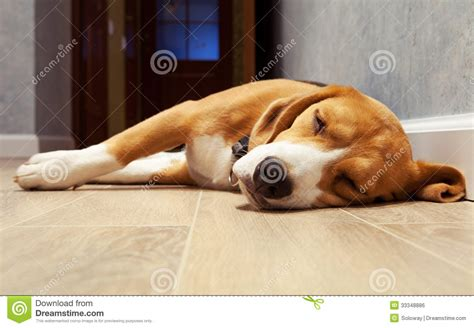 sleeping beagle on the wood floor royalty free stock - Sleeping On Hardwood Floor