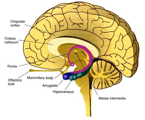 diagram of diencephalon pictures info diencephalon