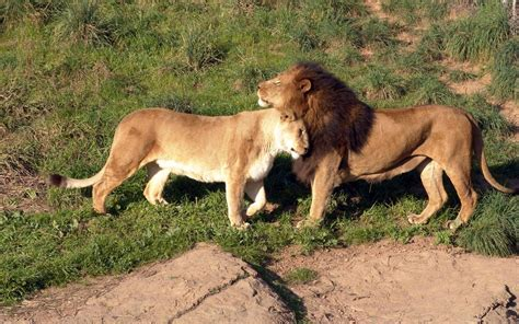 imagenes de leones amorosos sasangir national park