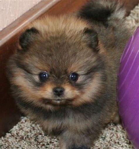 pomeranian puppies ma pomeranian puppies zoe fans baby animals fans
