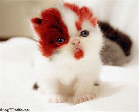 Boy Cutie Cat kitten funnykittensite
