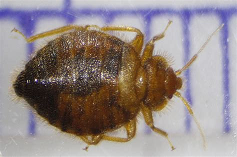 bat bug vs bed bug bed bug vs bat bug 28 images photos bed bugs vs bat