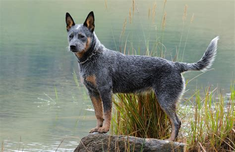 australian dogs australian cattle personality history and pictures