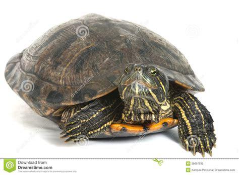 orecchio bagnato tartaruga con le orecchie rosse isolata su fondo bianco