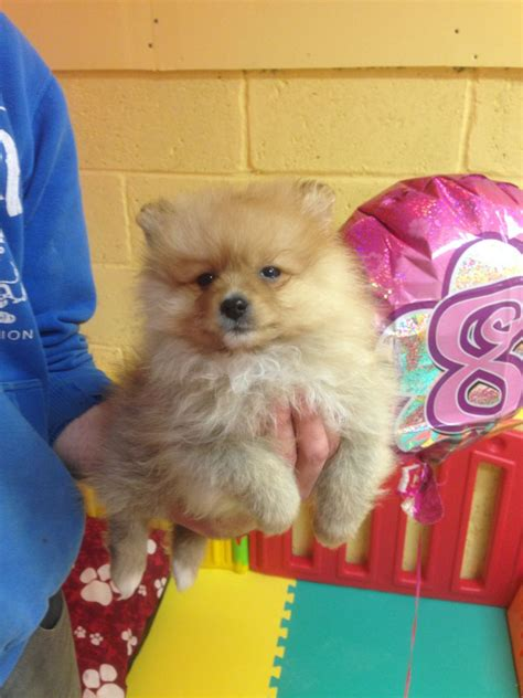 pomeranian puppies for sale in manchester pomeranian puppies for sale salford greater manchester pets4homes