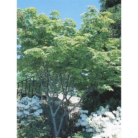 15 gallon maple tree shop 7 15 gallon japanese maple feature tree l4163 at lowes