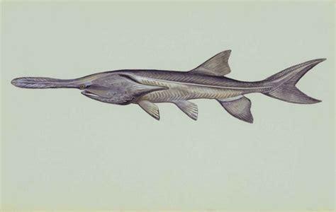 Polyodon Spathula file paddlefish underwater polyodon spathula jpg