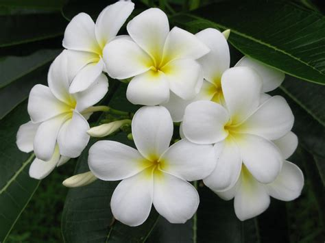 kalachuchi flowers   neighbors yard  dre