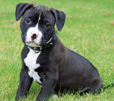 pitbull terrier puppies top 25 best pitbull terrier puppies ideas on