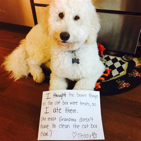 goldendoodle puppy teething 8 reasons why you shouldn t own a goldendoodle