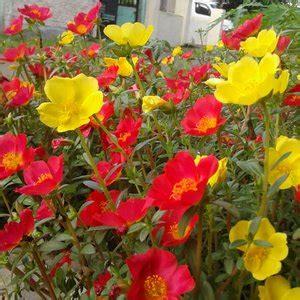 jual tanaman bunga hias krokot  lapak pranata iyud shop