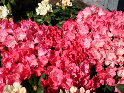 Rhododendron Flachwurzler by Rhododendron Lion Rhododendron Yakushimanum