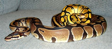 Snake Won T Shed by That S Adorable I Think Python And Him Would
