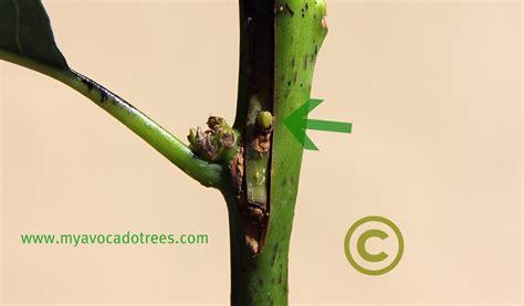 how to graft an avocado tree to produce fruit avocado propagation photo album