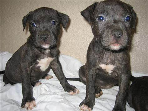 black pitbull puppy photo of pitbull puppies in black and white on the chests jpg