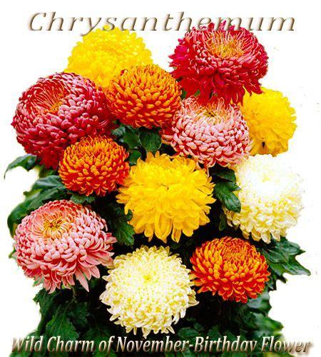 november birth november s birth flower is the chrysanthemum a
