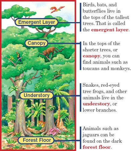 rainforest diagram diagram of a rainforest plant choice image how to guide