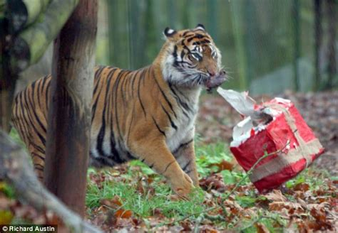 puss  box tiger    tangle   early christmas present daily mail