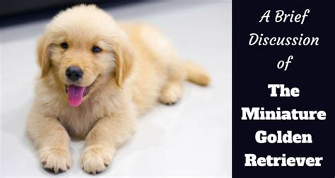 small golden retriever puppies the miniature golden retriever what is it exactly