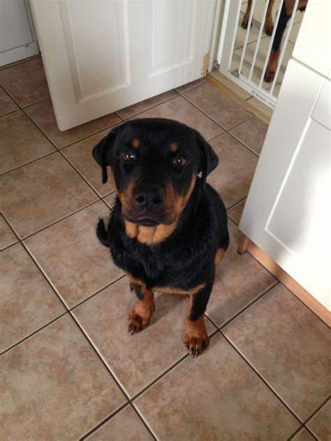 6 month rottweiler for sale beautiful 6 month rottweiler for sale chesterfield derbyshire pets4homes