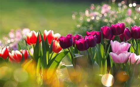 imagenes rosas en hd fondos de pantalla de flores hd fondos de pantalla y