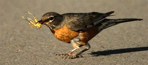 Pakan Anakan Branjangan 13 fooding alternatif untuk burung kicauan om kicau