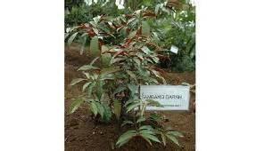 Bibit Tin Cirebon bibit tanaman floraherbanusantara