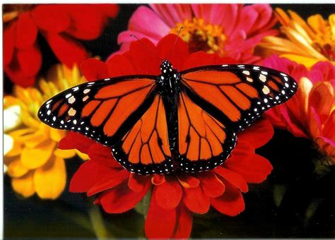 monarch butterfly the monarch butterfly national biodiversity teach in