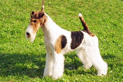wire hair fox terrier puppies for sale large wirehaired breeds breeds picture