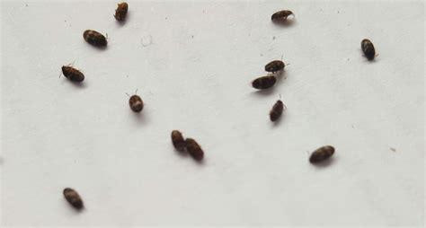 insetti volanti neri insetti piccoli e marroni pestforum