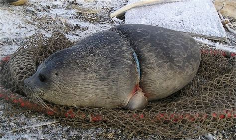 Seal Plastik plastic bands are strangling seals and sea lions usa
