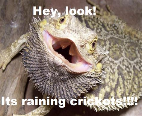 Bearded Dragon Meme - bearded dragons with hats memes