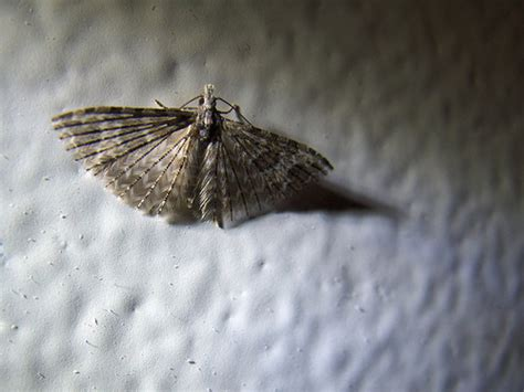 tiny moths all house moth on the wall these tiny moths show up in the house