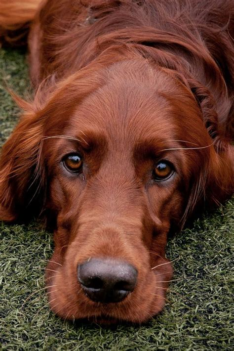 red setter dog names 25 best ideas about irish setter dogs on pinterest