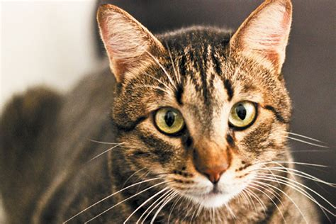 What Exactly Is a Mackerel Tabby Cat?   Catster