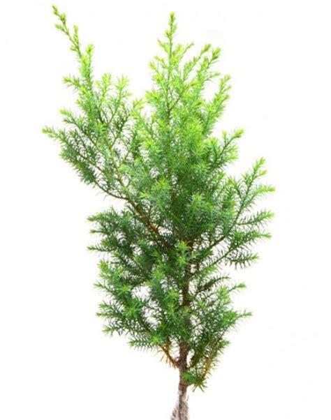 flora dan fauna indonesia berbagai jenis pohon cemara di