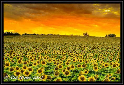 kansas sunflower fields www imgkid com the image kid kansas sunflower fields www imgkid com the image kid