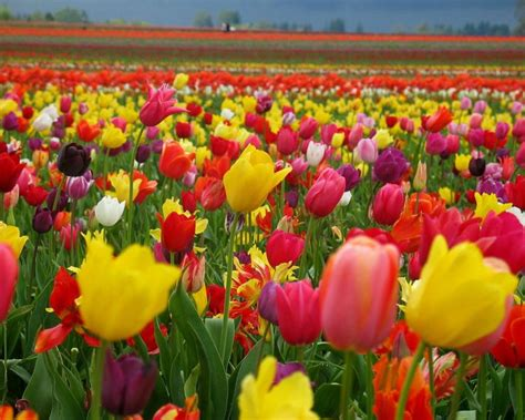 flowers bloom bloom rose images special flowers hd wallpaper and