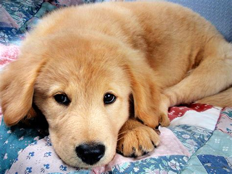 adorable golden retriever puppy golden retriever puppy laying photograph by rollo