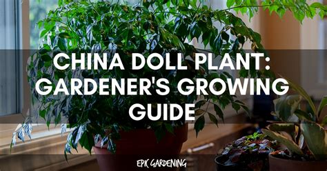 china doll plant radermachera sinica growing guide