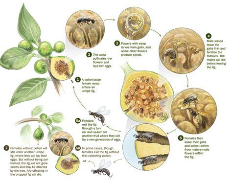 wasp cycle diagram fig wasp and fig tree mutualism entomology