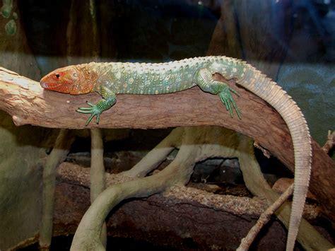 The Online Zoo - Caiman Lizard