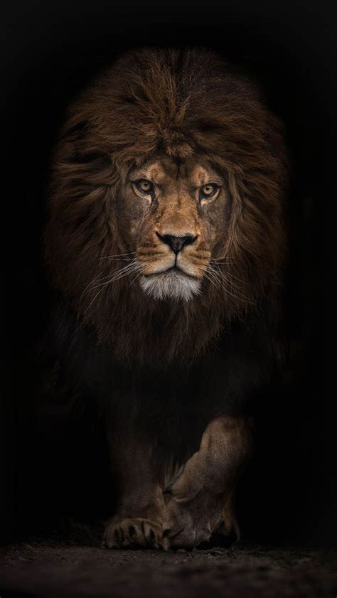 lion wallpaper pinterest 25 best ideas about lion wallpaper on pinterest lion